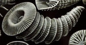 El Rugosa también extinto o coral rugosas eran ubicuos del Ordovícico medio a finales del Pérmico. Formas Solitarios (es decir, pólipos solitarios) son comúnmente llamados corales cuerno debido a su / cámara de forma cónica que tiene un cuerno Coral rugosoarrugados o rugosa, pared. Algunos de estos corales rugosos solitarios creció hasta casi un metro. Otros Rugosa formó colonias grandes (por ejemplo, lithostrotion).
