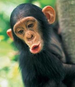 chimpance-